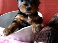 This AKC parti- blood male Yorkshire Terrier Puppy is