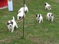 I have 9 pyrenees puppies available! The mom is full