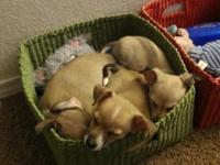 I have three Male chihuahua young puppies that are 8