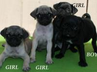 Totally Gorgeous and Sweet Purebred Pug Puppies, Gray