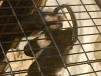 I have some really sweet baby guinea pigs! They are 4