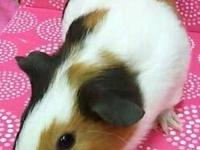 Super cute baby & young guinea pigs to go good homes