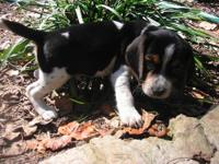These are 4 super cute beagle puppies! They are all