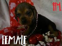 These are Blondie's very adorable beagle young puppies.