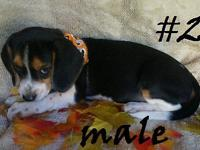 These are three adorable beagle puppies! There is only