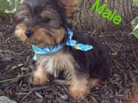 I have a male home raised Yorkie puppy for sale to a