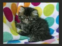 8 week old cute Tabby CFA Persian! He is SO STINKING