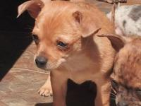 2 Male 8 week old Chihuahua young puppies. These young