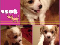 6week old chihuahua puppies. They get their shots July