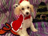 I have one beautiful male poodle that are ready to go