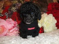 I have 3 male tiny toy poodle. They are super friendly