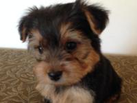 We have one adorable male toy yorkie puppy. He was born