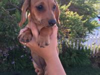 We have 5 beautiful Dachshund puppies! 3 females -