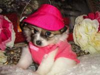 I have 3 female Pomeranian Puppies. They are super