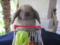 I have available, adorable, pure bred Holland Lop bunny