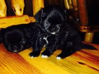 I have two male Jatzu puppies for sale. They will be