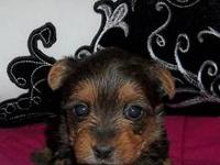 Hi:) I am selling a super cute little Yorkie, Cloe 4