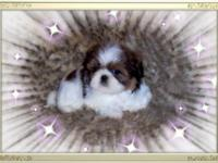 I have a very charming little male Shih Tzu for sale!