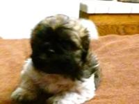 Hello I have a super cute Male Toy Shih Poo, super