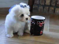 Animal Type: Dogs Breed: Maltese Beautiful male and
