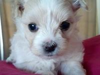 This is ANGEL and shes 7 weeks old. Shes Maltese and