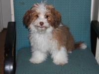 I have a lovable spirited maltipoo. He is 4 months old