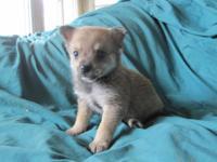 5 Mini Pin/ Pomeranian Cross Puppies, 4 male and 1