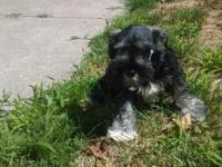 Beautiful miniature schnauzer, puppies, 1 male , flashy