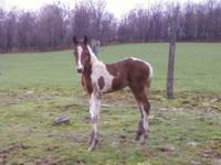 Aladdin was Born April 5th brown and white colt out of