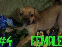 These are two super cute female Puggle puppies (Beagle