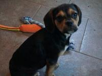 This is an incredibly charming male puggle (beagle x