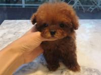 girl available Absolutely stunning teacup poodle