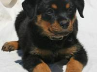 Super cute rottweiler puppies Only two males and one