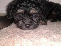 I have 3 lovable and playful Shih-Poo puppies just