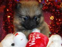 I have 2 stunning Male Small Teacup CKC Pomeranian.
