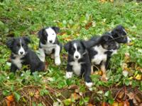 Super cute, smart, sweet, loyal, border collie puppies