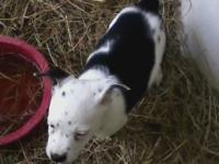 EXTREMELY CUTE AND SUGARY FOOD TEXAS HEELER PUPPY FOR