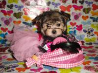 I have 3 Teacup Morkie Puppies. 2 female and 1 male.