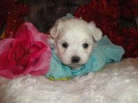 I have 4 Maltese Puppies. 3 male and 1 female. Both
