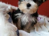 These Yorkshire Terrier puppies are very lovable, very