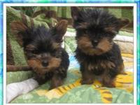 Beautiful Akc Yorkie Puppies Available For