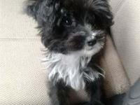 4months old very smart yorkiepoo, kennel trained with