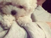 Alec is a beautiful little white TOY Poodle!! He is the