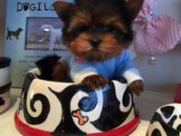 Nemo is a Tiny and really cute little male Yorkie young