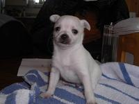 SUPER CUTE Chihuahua Puppy, All White, With Short Coat,
