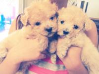 Adorable tiny maltipoo puppies ready for new loving