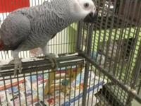 Super Duper Sweet Congo African Grey Baby looking for