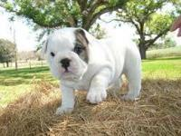Super English Bulldog Puppies TEXT ME WITH YOUR EMAIL