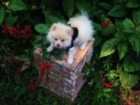 Tiny Pomeranian Puppy 12 weeks old Triple Coated looks