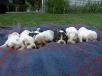 We have for sale 7 adorable purebred Basset Hound